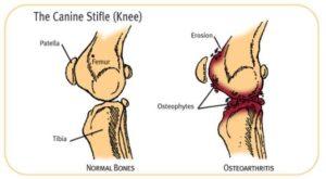 infographic canine stifle (knee)