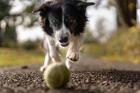 closeup of dog chasing tennis ball on walkway
