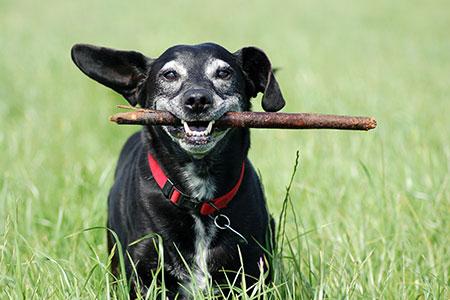 elder dog running through field holding a stick