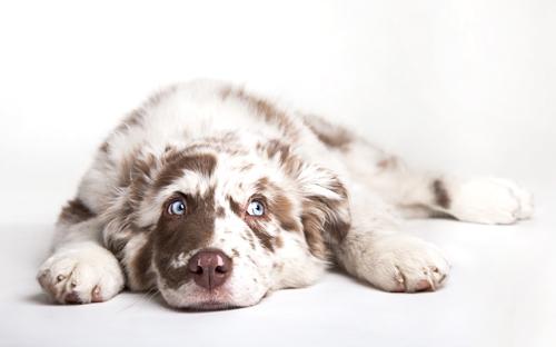 lab test dog